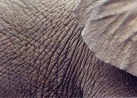 Pelle di elefante